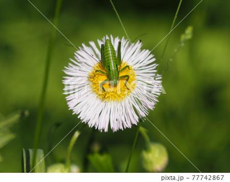 ハルジオンの花粉を食べるヤブキリの幼虫♂ 77742867