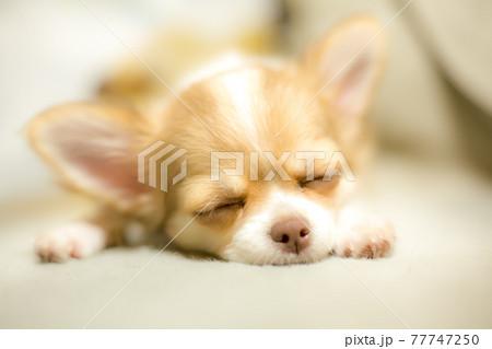 リビングで昼寝する子犬のロングチワワ 77747250