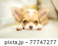 リビングでのんびりしている子犬のロングチワワ 77747277