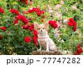 バラの前でモデルしている子犬のロングチワワ 77747282