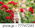 バラの前でモデルしている子犬のロングチワワ 77747283