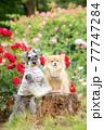 バラの前で記念撮影する2匹の犬 77747284