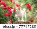 バラの前でモデルしている子犬のロングチワワ 77747285