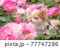 バラの中から顔を出すロングチワワ 77747286
