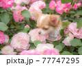 バラの中から顔を出すロングチワワ 77747295