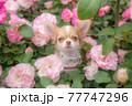 バラの中から顔を出すロングチワワ 77747296