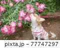 お花を見つめる子犬のロングチワワ 77747297