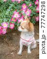 お花を見つめる子犬のロングチワワ 77747298
