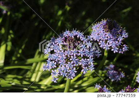 春の公園に咲くオオツルボの紫色の花 77747559