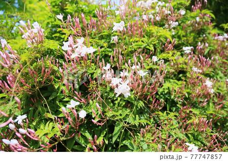 ジャスミンの花 ホワイトプリンセス 77747857