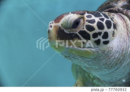 ウミガメの顔 77760932