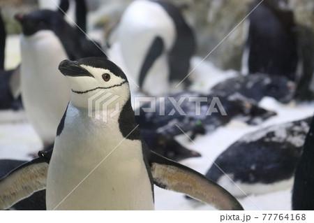 ヒゲペンギンのアップとアデリーペンギンの群れ 77764168