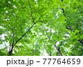 画面いっぱいに広がった丸い緑の葉 77764659