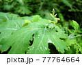 森の中で生い茂る大きな緑の葉 77764664