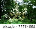 森の中に咲いている白い花 77764668