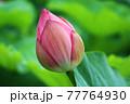 画面中央に大きく映されたピンクの蓮の花のつぼみ 77764930