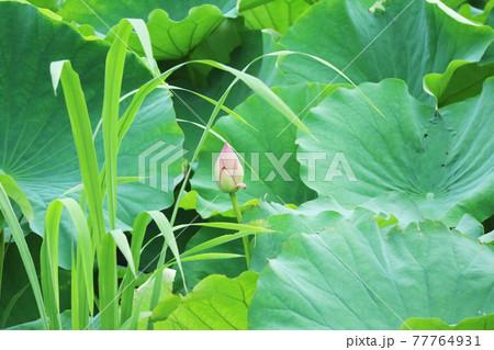 生い茂る蓮の葉に囲まれた画面の中央に小さく映る蓮の花の蕾 77764931