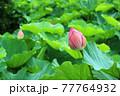 生い茂る蓮の葉に囲まれたいくつかの蓮の花の蕾 77764932