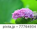 緑色の葉を背景に咲く紫色の紫陽花 77764934