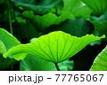 太陽によく照らされ葉脈が浮かび上がる中央に大きく映された大きな蓮の葉 77765067