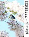桜の中にいるコムクドリ 77765633