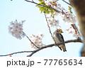 桜とこっちを見ているコムクドリ 77765634