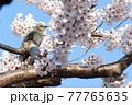桜の中にいるヒヨドリ 77765635