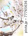 桜をくわえるスズメ 77765636