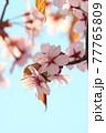 おしべとめしべが見える桜の正面と青空 77765809