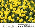 たくさんの黄色のスイセン 77765811