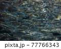 鮭の子供が泳ぐ魚群 77766343