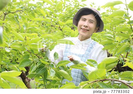 茶色帽子、青チェックエプロンの柿摘蕾をしているシニア女性 ウエストアップ 77783302