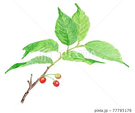 Prunus pseudocerasus さくらんぼ(暖地桜桃) 77785176