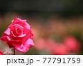 赤いばら 77791759