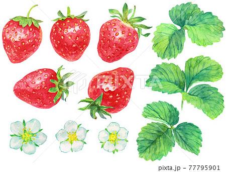 水彩イチゴの実と花と葉_素材 77795901