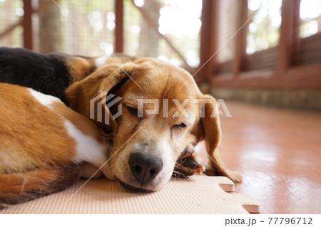 眠るビーグル犬 77796712