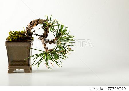 白背景のミニ盆栽 77799799