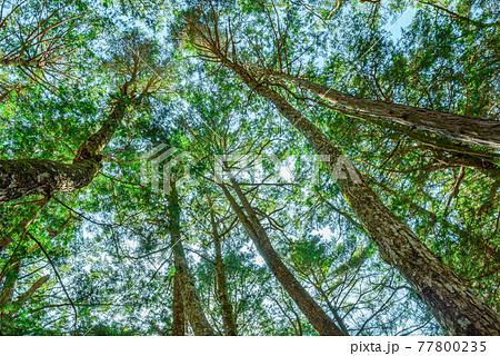 (山梨県)神秘的な青木ヶ原樹海の木々 77800235