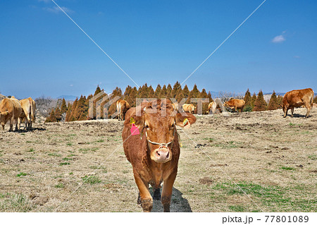 【放牧中の牛】 熊本県阿蘇市 77801089
