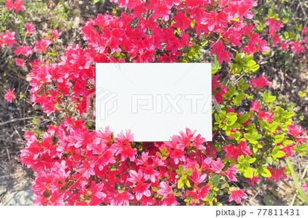 赤いツツジの満開の花を背景にした長方形の白紙のカードのモックアップ 77811431