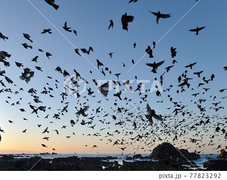 夜明けとともに飛び交うヒヨドリの大群 77823292