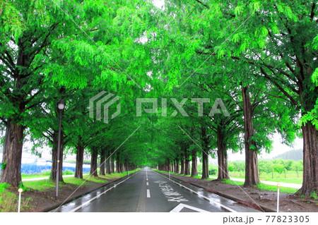 滋賀県高島市マキノのメタセコイア並木 77823305