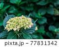 雨上がりの紫陽花(アジサイ)01 77831342