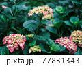 雨上がりの紫陽花(アジサイ)02 77831343