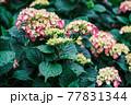 雨上がりの紫陽花(アジサイ)03 77831344