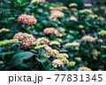 雨上がりの紫陽花(アジサイ)04 77831345