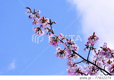 良く晴れた青空に伸びる桜の花戸枝 77832274