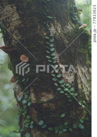 鹿児島県の日本100名山、開聞岳の山道で見つけた植物の模様 77833623