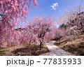 高見の郷に咲き誇る枝垂桜 77835933