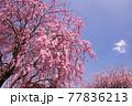 高見の郷に咲き誇る枝垂桜を見上げる 77836213